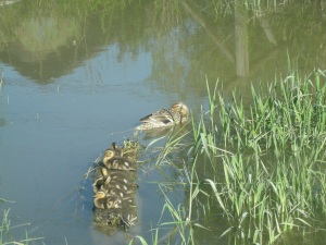 Duck family on the rivers edge