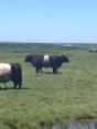 River cattle from Steves farm
